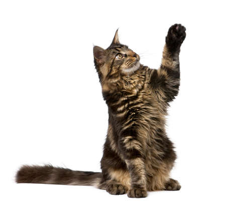 Maine Coon with paw in air, 7 months old, in front of white background photo