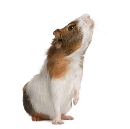 Guinea pig, Cavia porcellus, sniffing in front of white background photo