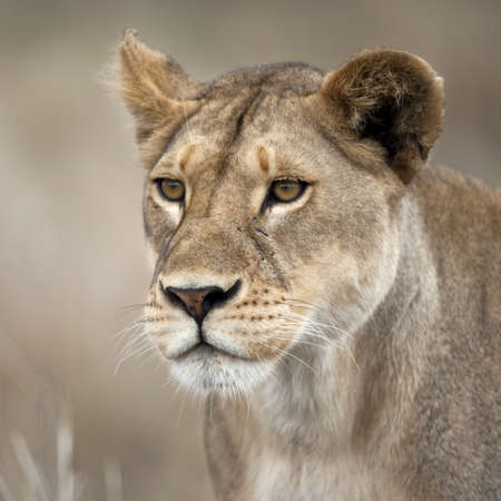 lioness: Close-up of Lioness in Serengeti, Tanzania, Africa
