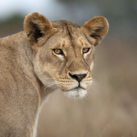 Close-up of Lioness in Serengeti, Tanzania, Africa photo