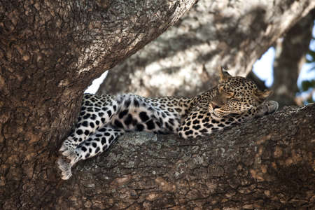 Leopard resting in tree, Serengeti, Tanzania, Africa photo