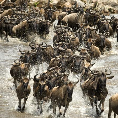 stampede: Wildebeest running in river in the Serengeti, Tanzania, Africa