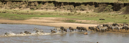 Wildebeest and zebra crossing the river in the Serengeti, Tanzania, Africa photo