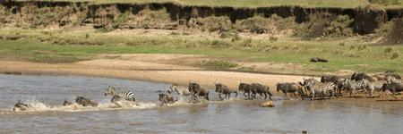 wildebeest: Wildebeest and zebra crossing the river in the Serengeti, Tanzania, Africa Stock Photo