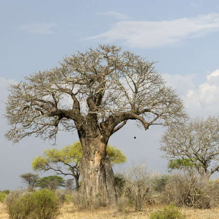 Balboa tree in the Serengeti, Tanzania, Africa Stock Photo - 7980727