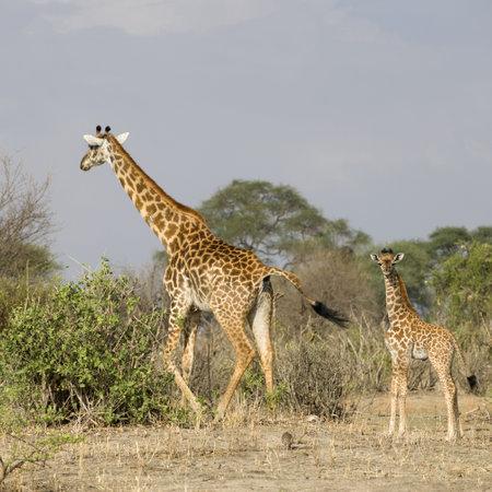 Giraffes walking in the Serengeti, Tanzania, Africa photo