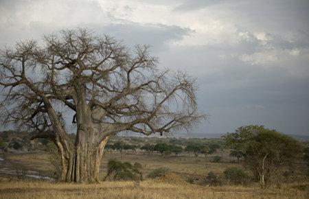 balboa: Balboa tree in the Serengeti, Tanzania, Africa Stock Photo