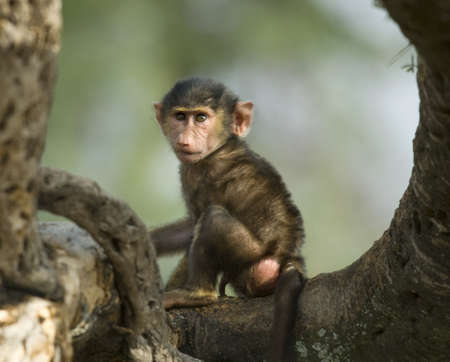 b�b� singe: Baby monkey sitting in the tree in the Serengeti, Tanzania, Africa