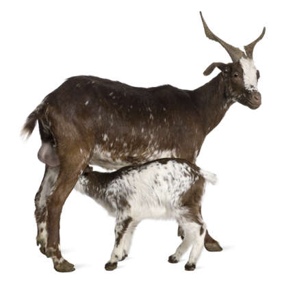 Female Rove goat with young goat drinking underneath in front of white background photo