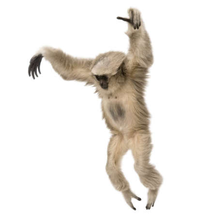gibbon: Young Pileated Gibbon, Hylobates Pileatus, 1 year old, leaping in front of white background Stock Photo