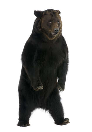 Siberian Brown Bear, 12 years old, standing in front of white background photo