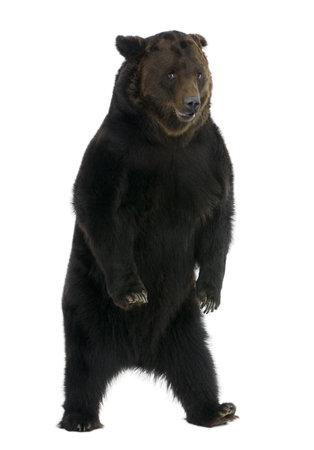 Sibérie ours brun, 12 ans, debout devant fond blanc