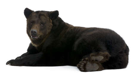 Siberian Brown Bear, 12 years old, lying in front of white background photo