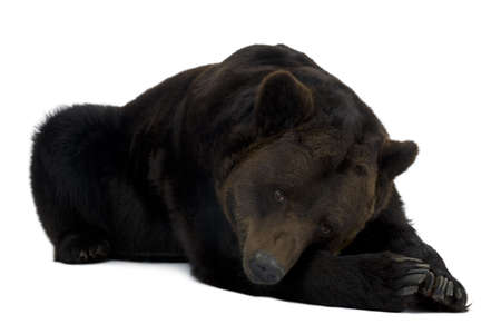 lying in front: Siberian Brown Bear, 12 years old, lying in front of white background