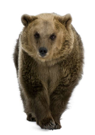 Brown Bear, 8 years old, walking in front of white background photo