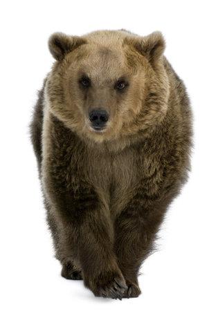 oso: Oso pardo, 8 a�os de edad, caminar delante de fondo blanco  Foto de archivo