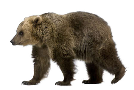 Brown Bear, 8 years old, walking in front of white background Stock Photo - 7980640