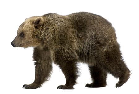oso: Oso pardo, 8 a�os de edad, caminar delante de fondo blanco