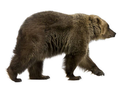 brown bear: Brown Bear, 8 years old, walking in front of white background