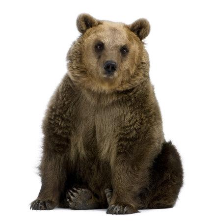 ours: Brown Bear, 8 ans, assis devant fond blanc Banque d'images