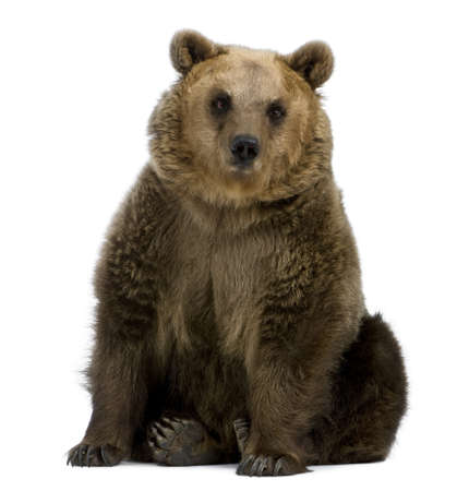 brown bear: Brown Bear, 8 years old, sitting in front of white background