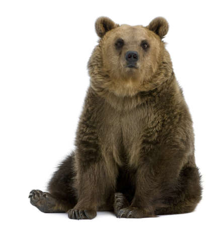 Brown Bear, 8 years old, sitting in front of white background Stock Photo - 7980647