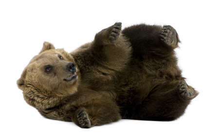 8 years old: Brown Bear, 8 years old, lying in front of white background