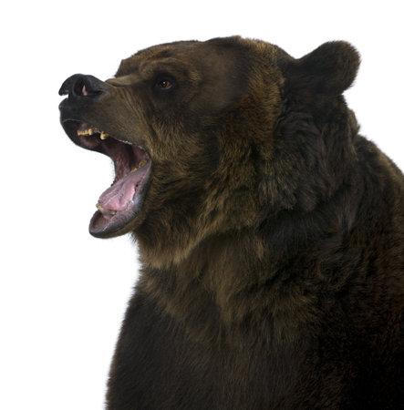 oso pardo: Oso grizzly, 10 a�os de edad, voz gutural delante de fondo blanco