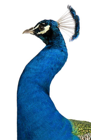 Peacock in front of white background Stock Photo - 7980274