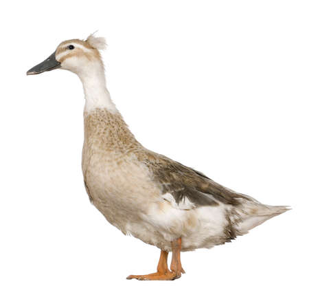 crested duck: Female Crested Duck, 3 years old, standing in front of white background Stock Photo