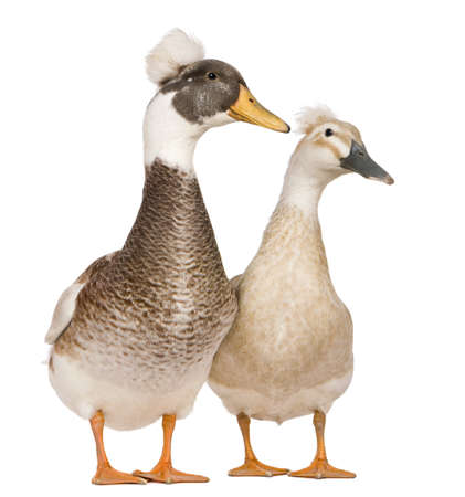 crested duck: Male and female Crested Ducks, 3 years old, standing in front of white background Stock Photo