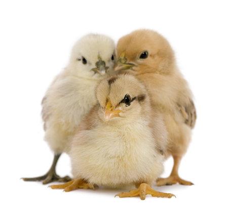 pollitos: Tres polluelos de fondo blanco