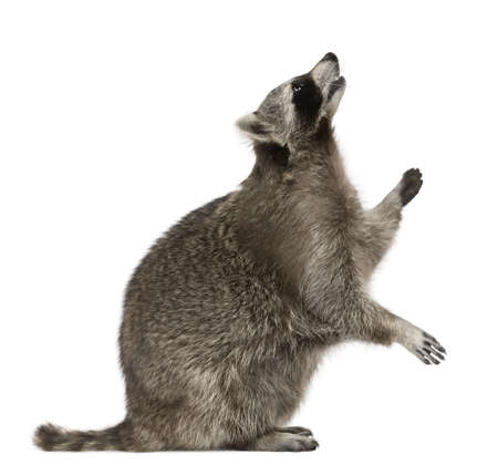raccoon: Raccoon looking up in front of white background