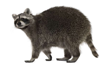 raccoon: Raccoon, 2 years old, walking in front of white background