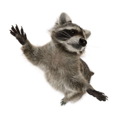Raccoon standing on hind legs in front of white background Stock Photo - 7980429
