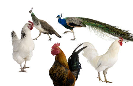 Peacocks, hens and rooster in front of white background photo