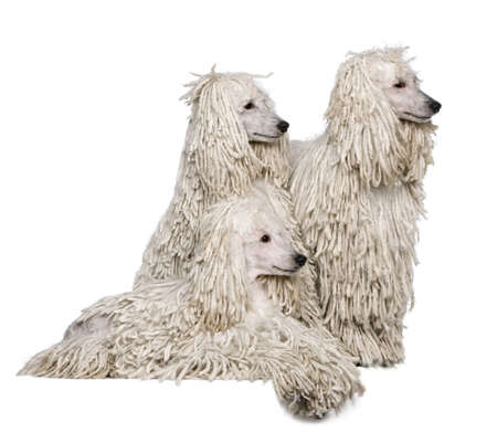 corded: Three White Corded standard Poodles in front of white background