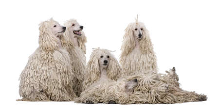 Group of White Corded standard Poodles in front of white background photo