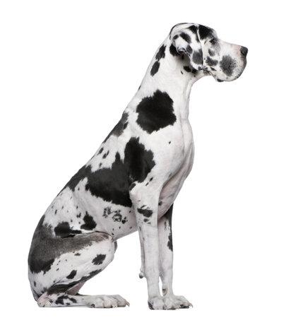 harlekijn: Duitse Dog harlekijn zitten voor witte achtergrond