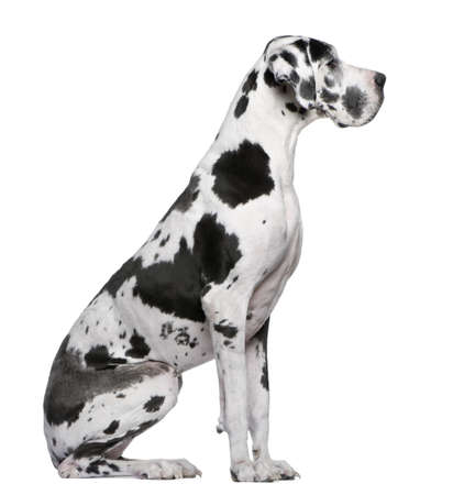 dog sitting: Great Dane Harlequin sitting in front of white background Stock Photo