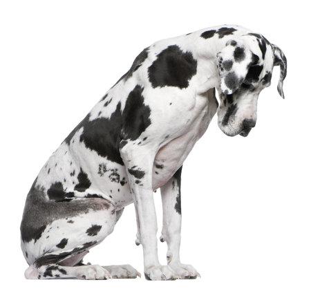 harlekijn: Duitse Dog harlekijn zitten voor witte achtergrond naar beneden te kijken