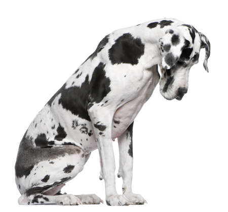 spotted dog: Great Dane Harlequin sitting in front of white background looking down