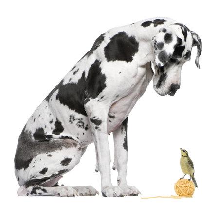 naar beneden kijken: Duitse Dog harlekijn zit van witte achtergrond te kijken naar een Blue Tit vogel  Stockfoto