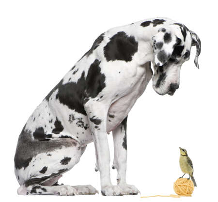 looking out: Great Dane Harlequin sitting in front of white background looking at a Blue Tit bird