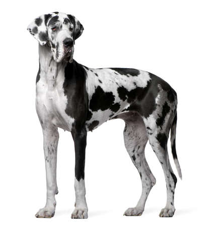 great dane harlequin: Great Dane Harlequin, 4 years old, standing in front of white background Stock Photo