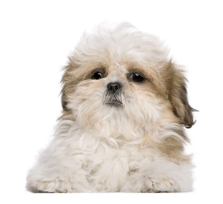 shih: Shih Tzu puppy, 3 months old, lying in front of white background Stock Photo