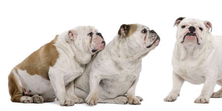 Three English Bulldogs in front of white background photo