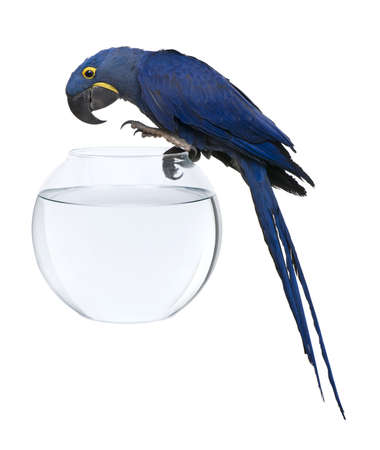Hyacinth Macaw, 1 year old, Anodorhynchus hyacinthinus, standing on fish bowl in front of white background photo