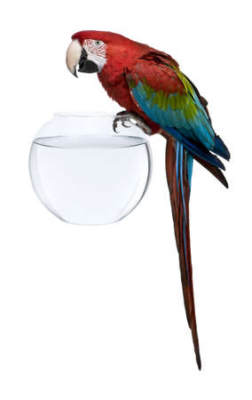 Red-and-green Macaw, Ara chloropterus, standing on fish bowl in front of white background Stock Photo - 7974230