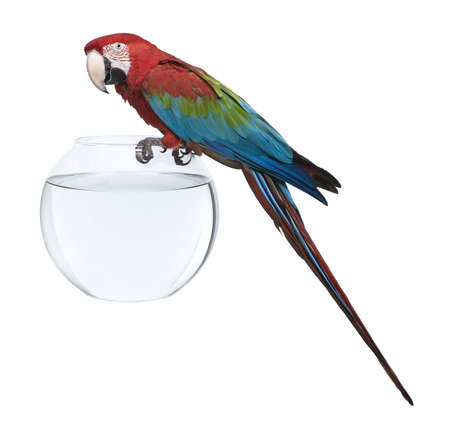 Red-and-green Macaw, Ara chloropterus, standing on fish bowl in front of white background Stock Photo - 7974224